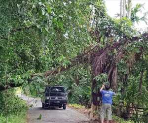 Di Abdya, Pohon Kelapa Tumbang Ancam Keselamatan Warga
