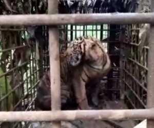 Harimau yang Resahkan Warga Berhasil Masuk Perangkap