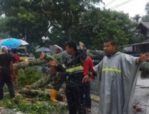 Akibat Hujan dan Angin Kencang Sebuah Pohon Tumbang di Aceh Barat