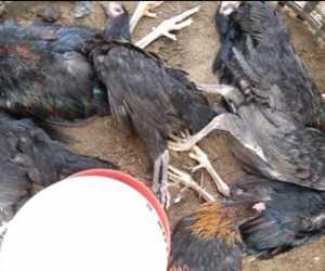 Ratusan Ayam di Samatiga Aceh Barat Membiru dan Mulut Mengeluarkan Lendir