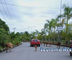 Hati-hati Banyak Sapi Berkeliaran di Jalan Poros Utama Suka Makmue