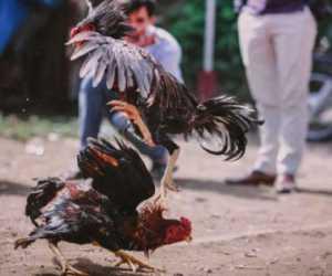 Duh! Grebek Sabung Ayam, Polisi Meninggal Diserang Ayam Jago