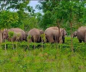 Kawanan Gajah Liar Mengamuk, Tanaman Warga Diobrak-obrik