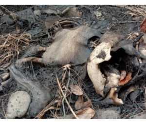 Sepuluh Ekor Gajah Sumatera Ditemukan Mati di Aceh
