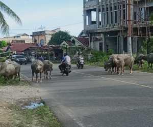 Kawanan Ternak di Abdya Berkeliaran di Jalan Nasional
