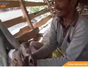 Viral Video Kambing Bermata Satu