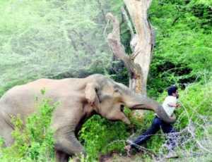 Diserang Gajah Liar, Seorang Warga Pidie Kritis