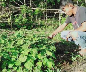 Ternak Sering Rusak Pagar, Petani Nilam di Aceh Jaya Minta Perhatian Pemerintah