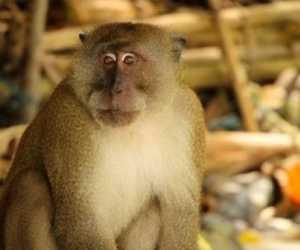 Gigit Warga, Kepala Desa Laporkan Monyet ke Polisi