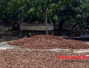 Harga Biji Coklat Kering di Abdya Capai Rp28.000/Kg