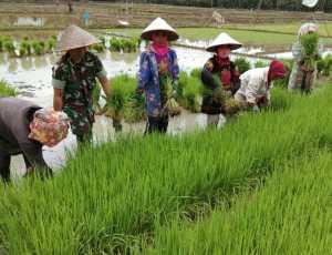 Petani Aceh Timur Lakukan Gerakan PBB Di Sawah