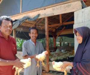 Ayam Potong Bantuan Desa Untuk Janda di Tokoh II Abdya Membuahkan Hasil