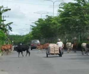 Pengguna Jalan Resah, Ternak Masih Berkeliaran di Jalan
