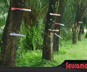 Limbah Kayu Bekas APK Caleg Masih Menempel di Pohon