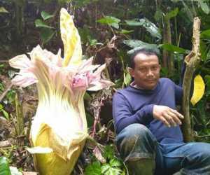 Warga Abdya Temukan Bunga Bangkai di Gunung Blangpidie