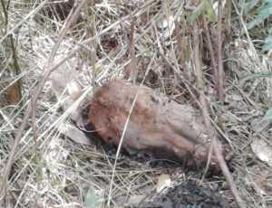 Diduga Dimangsa Harimau, Warga Temukan Sapi Tinggal Kepala