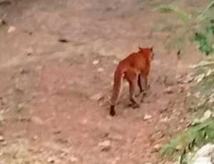 Kucing Emas Yang Ditemukan di Trumon Tengah Dievakuasi