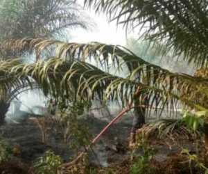 Kebun Sawit Milik Warga di Kecamatan Kuala Batee Abdya Terbakar