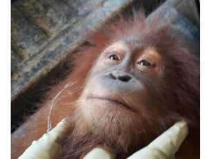 Warga Aceh Timur Serahkan Satu Orangutan
