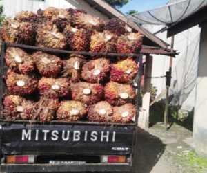 Harga Sawit Terjun Bebas, Bupati Nagan Raya Diminta Turun Tangan