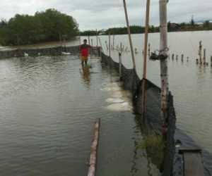 Puluhan Tambak Udang Milik Warga di Abdya Terendam Luapan Air Sungai
