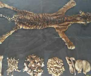 Polres Aceh Utara Amankan Kulit dan Tulang Belulang Harimau Sumatera