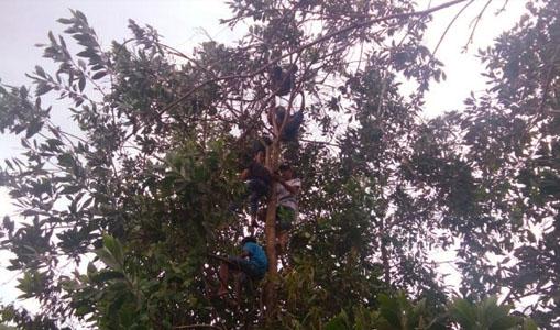 Para Siswa Nekad Belajar di Atas Pohon Berketinggian 15 Meter