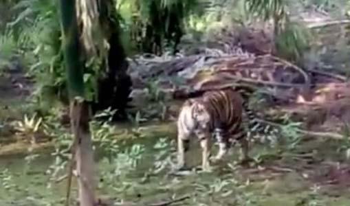 Harimau Masuk Perkampungan, Dua Ekor Sapi Warga Dimangsa