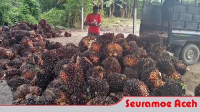 Harga TBS Sawit di Aceh Selatan Bertahan Pada Angka Rp 1.520/Kg