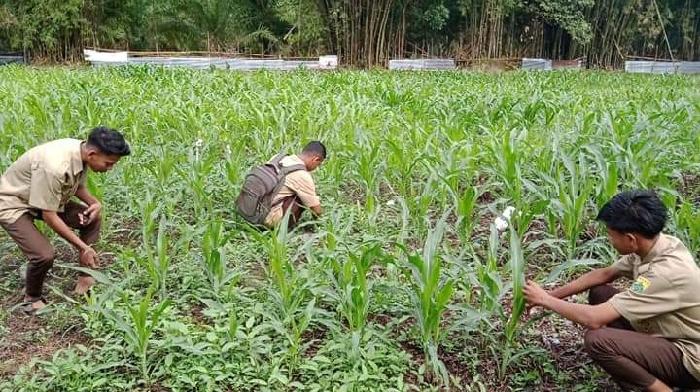 Siswa SMKN Abdya Sulap Sarang Babi Jadi Lahan Produktif